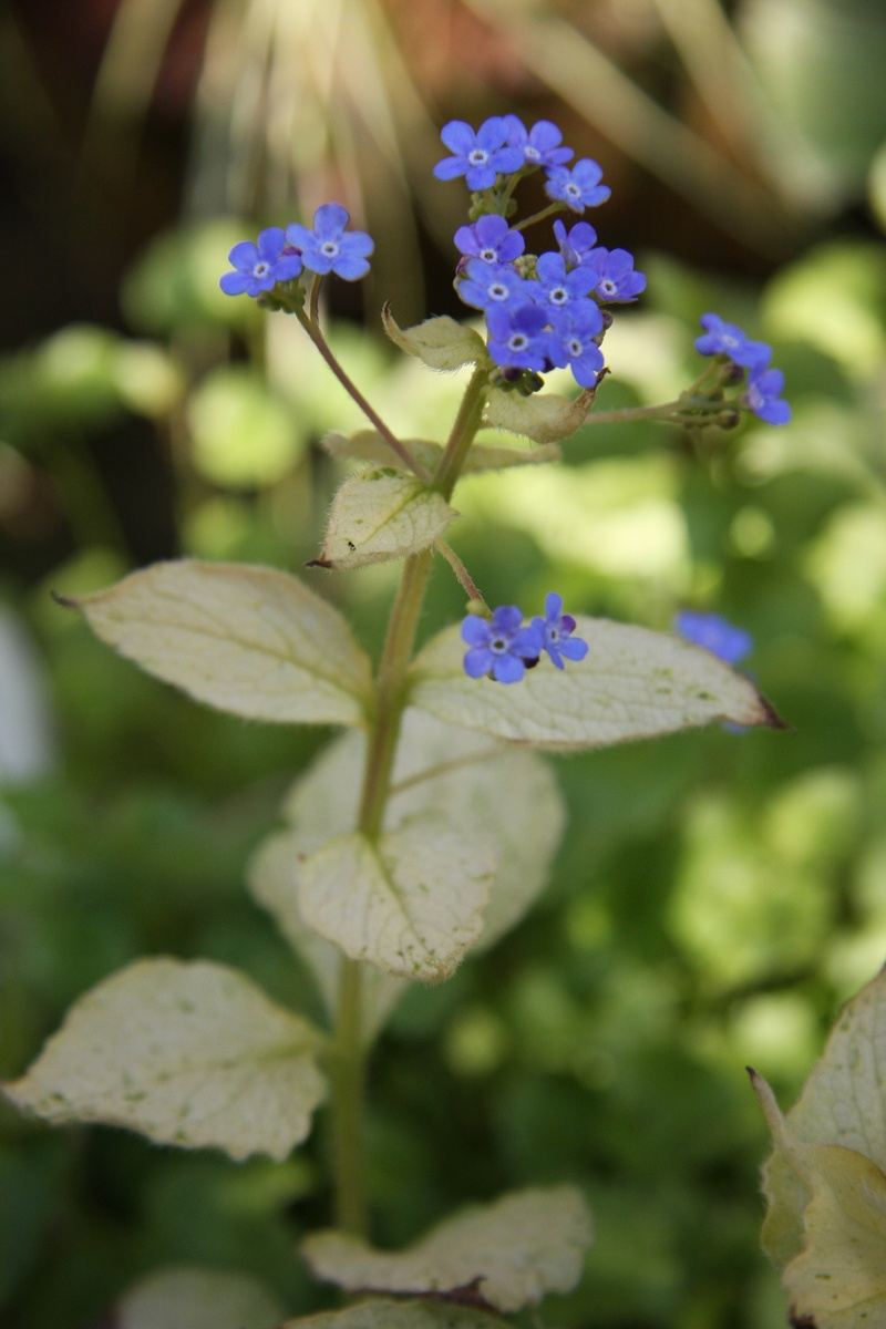 Brunnera Spring Yellow